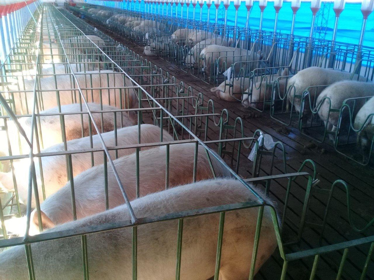"""Catriel25Noticias.com granja-porcina-484x363 Catriel elige 2.019. Cofré - Acébal ( MPP): """"Escuchar al vecino y dar trabajo..."""" Destacadas LOCALES"""